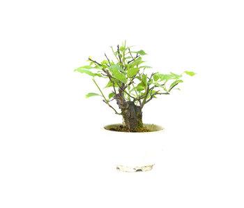 Japanse abrikoos (Yabai), 14 cm, ± 8 jaar oud