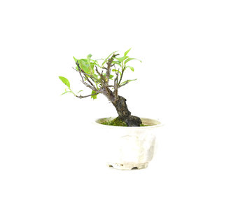 Japanse abrikoos  (Yabai), 10 cm, ± 8 jaar oud