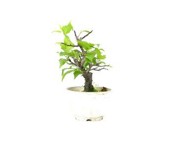 Prugna giapponese (Yabai), 13 cm, ± 8 anni