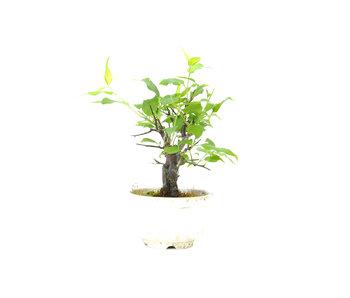 Japanse abrikoos (Yabai), 13 cm, ± 8 jaar oud