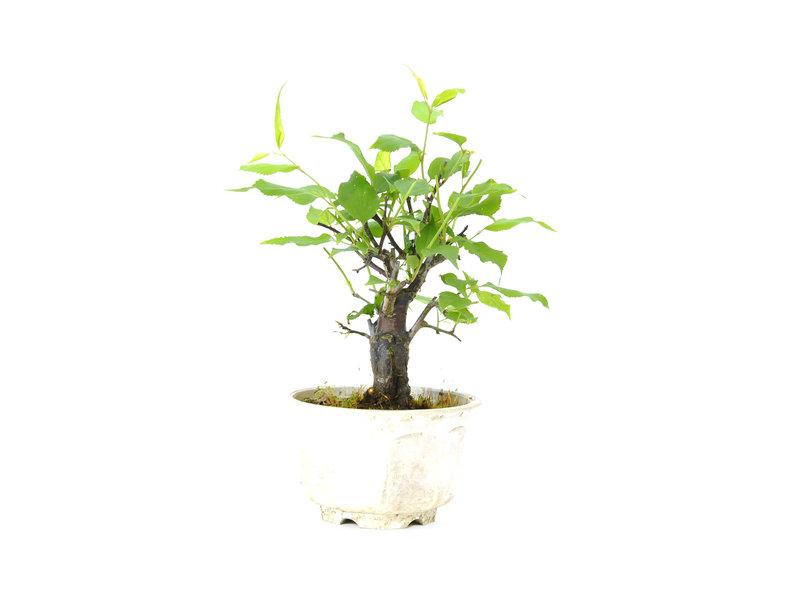 Japanse abrikoos (Yabai), 13 cm, ± 8 jaar oud met aan het einde van de winter witte bloemen