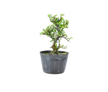 Little leaf cotoneaster, 15 cm, ± 7 years old