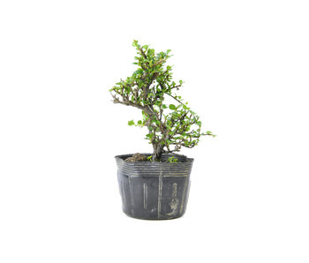 Little leaf cotoneaster, 16 cm, ± 7 years old
