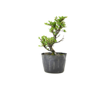 Little leaf cotoneaster, 17 cm, ± 7 years old