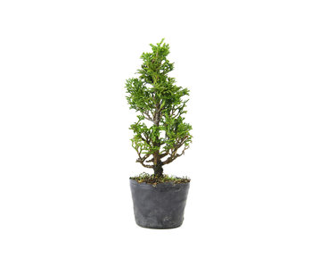 Japanese cypress, 19 cm, ± 12 years old