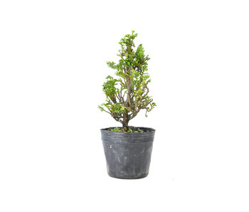 Japanese cypress, 16,1 cm, ± 12 years old