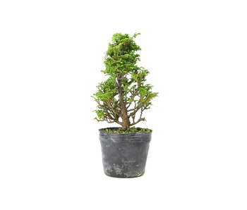 Japanese cypress, 16,2 cm, ± 12 years old