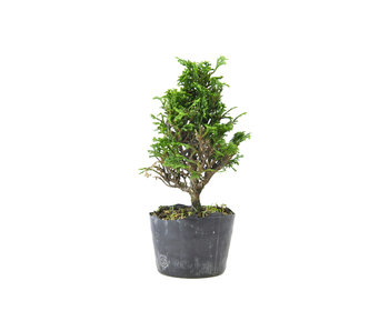 Japanese cypress, 15 cm, ± 12 years old