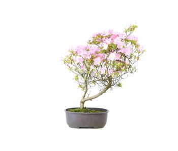 Japanese azalea, 28 cm, ± 8 years old