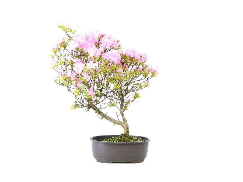 Japanse azalea, 28 cm, ± 8 jaar oud met roze bloemen