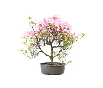 Japanse azalea, 26 cm, ± 8 jaar oud