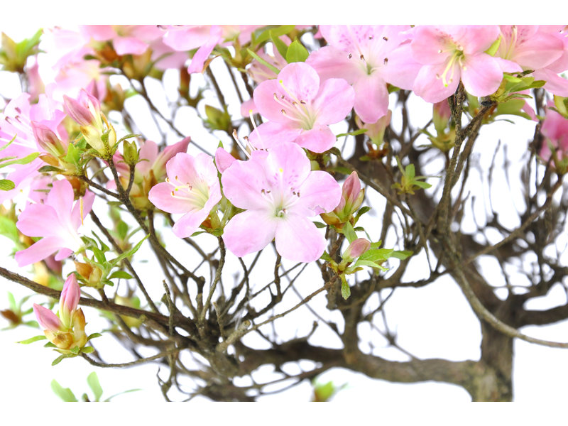 Japanese azalea, 26 cm, ± 8 years old with pink flowers