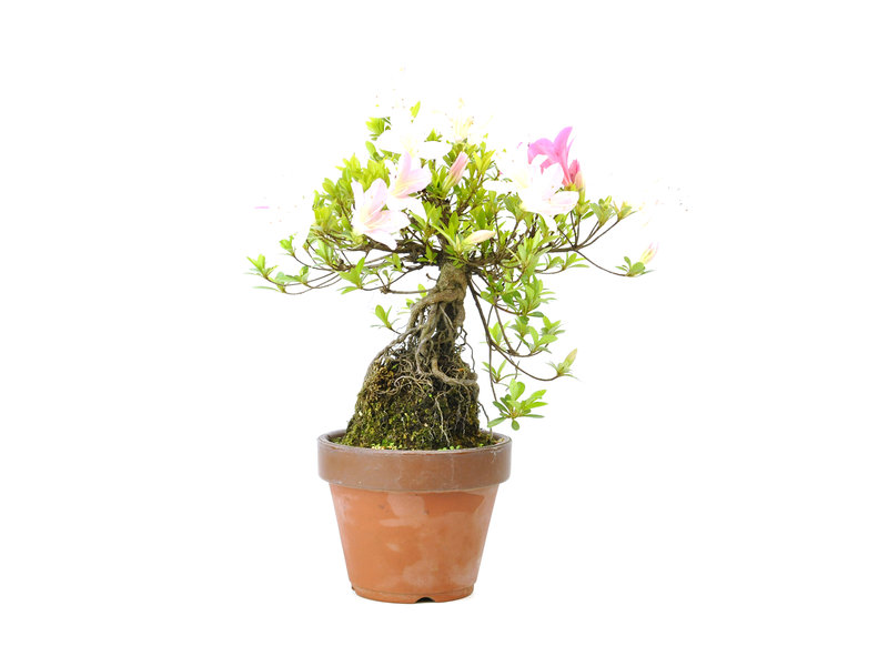 Japanse azalea (Satsuki), 18 cm, ± 12 jaar oud met roze en witte bloemen