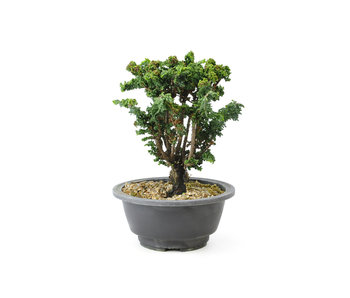 Japanese cypress (Sekka Hinoki), 17 cm, ± 16 years old