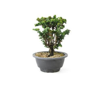 Japanische Zypresse (Sekka Hinoki), 17 cm, ± 16 Jahre alt