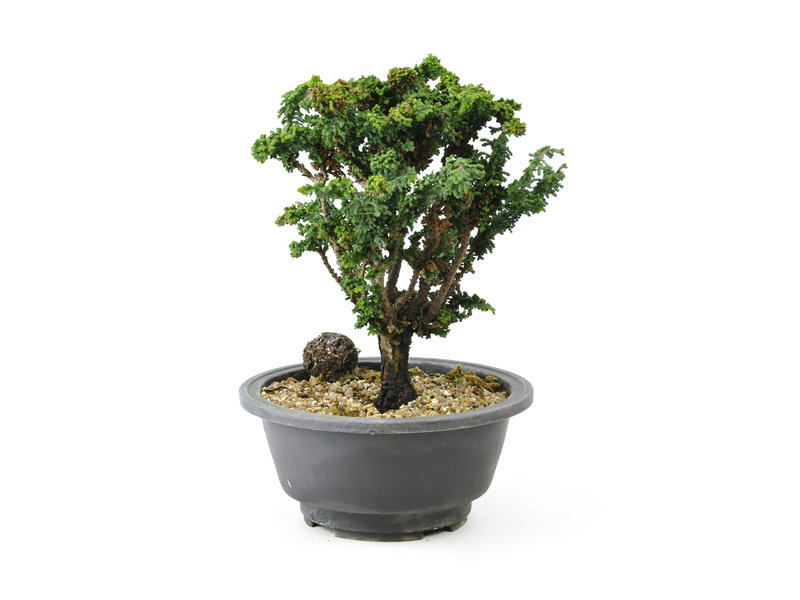 Japanese cypress (Sekka Hinoki), 17 cm, ± 16 years old