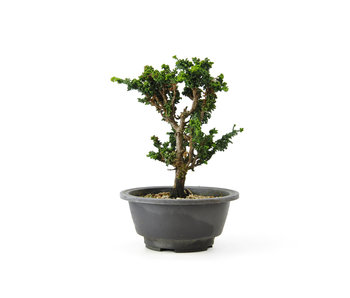 Japanese cypress (Sekka Hinoki), 19 cm, ± 16 years old