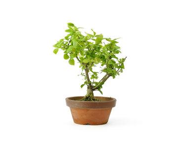 Spindletree alato (Nishikigi), 20 cm, ± 12 anni