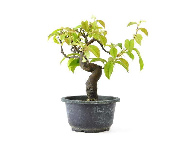 Chinese kweepeer (Karin), 21 cm, ± 15 jaar oud met een prachtig gevlekte boomstam, compacte vertakking, roze bloemen in mei en geel fruit in de herfst. De boom is zeer winterhard. De grote kweepeerachtige vruchten ruiken geweldig en kunnen worden gegeten,