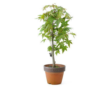 Japanese maple, 35 cm, ± 15 years old