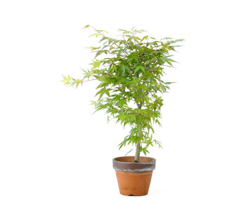 Japanese maple, 34 cm, ± 15 years old