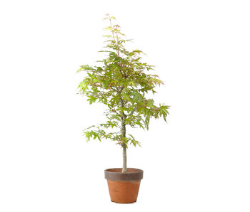 Japanese maple, 35,2 cm, ± 15 years old