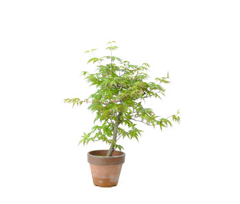 Japanese maple, 26 cm, ± 15 years old