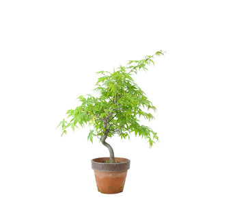 Japanese maple, 27,4 cm, ± 15 years old
