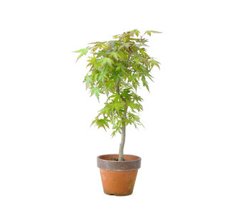 Japanese maple, 35,5 cm, ± 15 years old