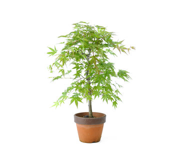 Japanese maple, 35,6 cm, ± 15 years old