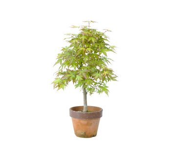 Japanese maple, 32,6 cm, ± 15 years old