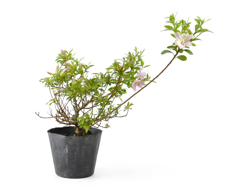 Japanse azalea, 13 cm, ± 8 jaar oud, met witte en roze bloemen