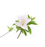 Japanse azalea, 18,6 cm, ± 8 jaar oud, met witte en roze bloemen