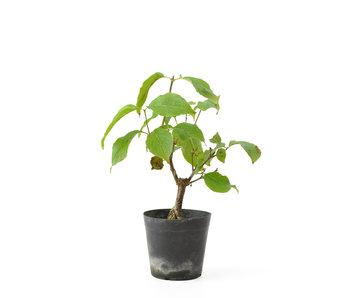 Cornus kosa, 17 cm, ± 7 anni
