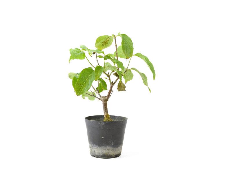 Cornus kosa, 17 cm, ± 7 jaar oud