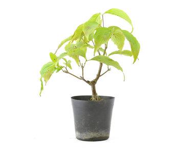 Cornus kosa, 16,9 cm, ± 7 anni