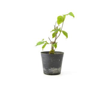 Cornus kosa, 16,8 cm, ± 7 anni