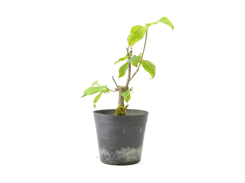 Cornus kosa, 16,8 cm, ± 7 jaar oud