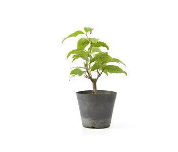 Cornus kosa, 16,6 cm, ± 7 anni