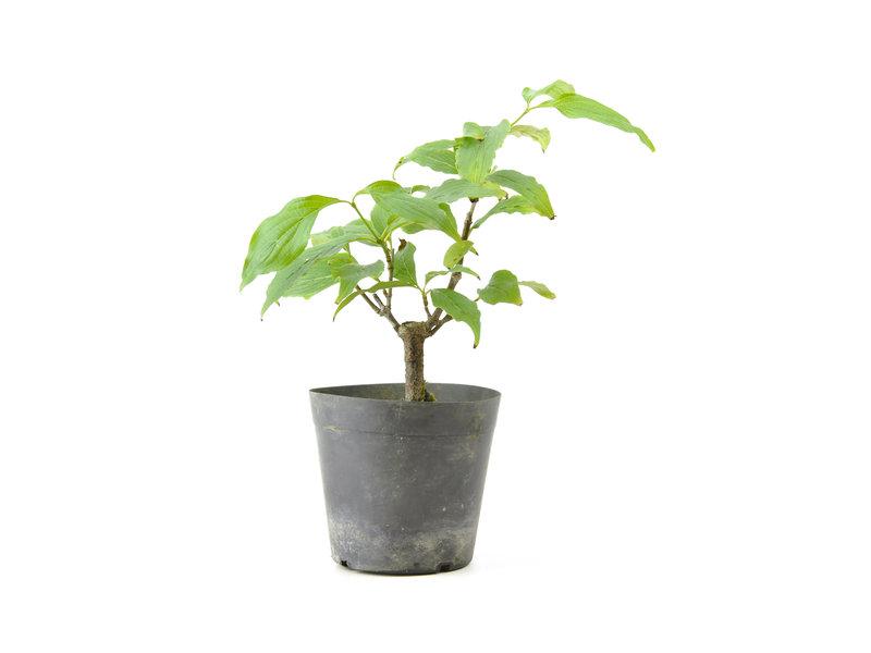 Cornus kosa, 16,6 cm, ± 7 jaar oud