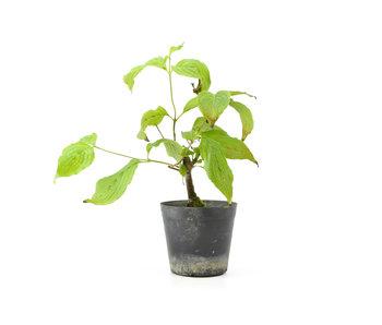 Cornus kosa, 16,5 cm, ± 7 anni