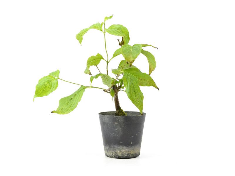 Cornus kosa, 16,5 cm, ± 7 jaar oud
