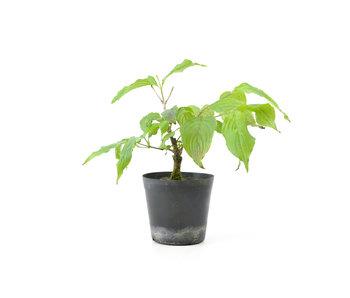 Cornus kosa, 16,4 cm, ± 7 anni