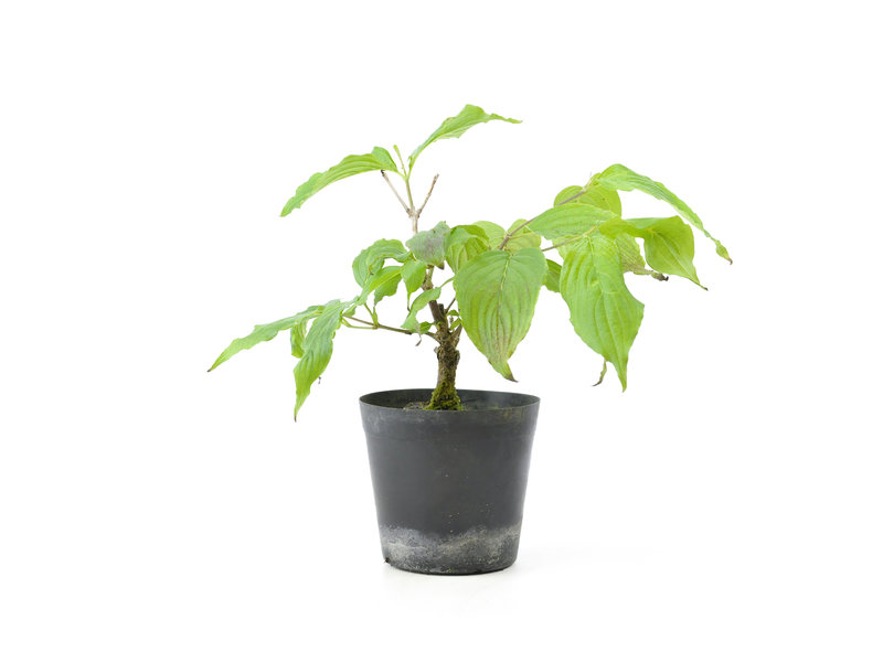 Cornus kosa, 16,4 cm, ± 7 jaar oud