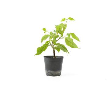 Cornus kosa, 16,3 cm, ± 7 anni