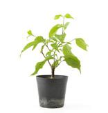 Cornus kosa, 16,3 cm, ± 7 jaar oud