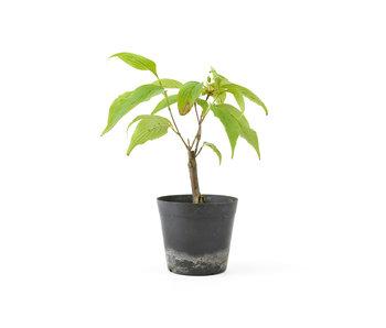 Cornus kosa, 16,2 cm, ± 7 anni