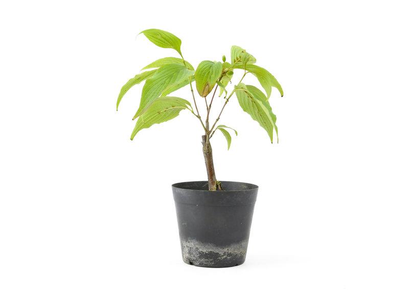 Cornus kosa, 16,2 cm, ± 7 jaar oud