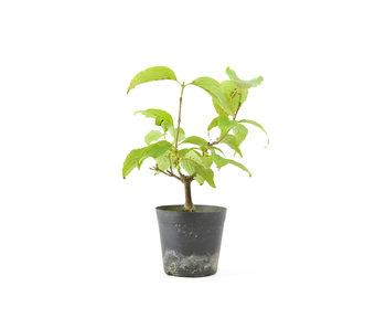 Cornus kosa, 16,1 cm, ± 7 anni