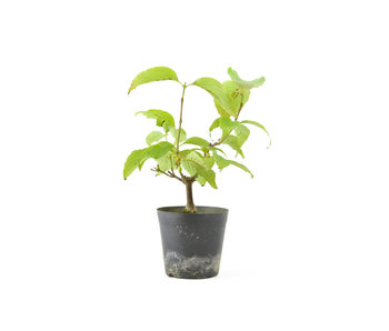 Cornus kosa, 16,1 cm, ± 7 jaar oud